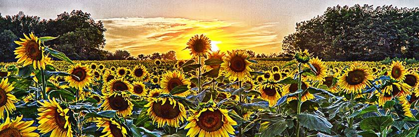 Sunflowers on Sunset